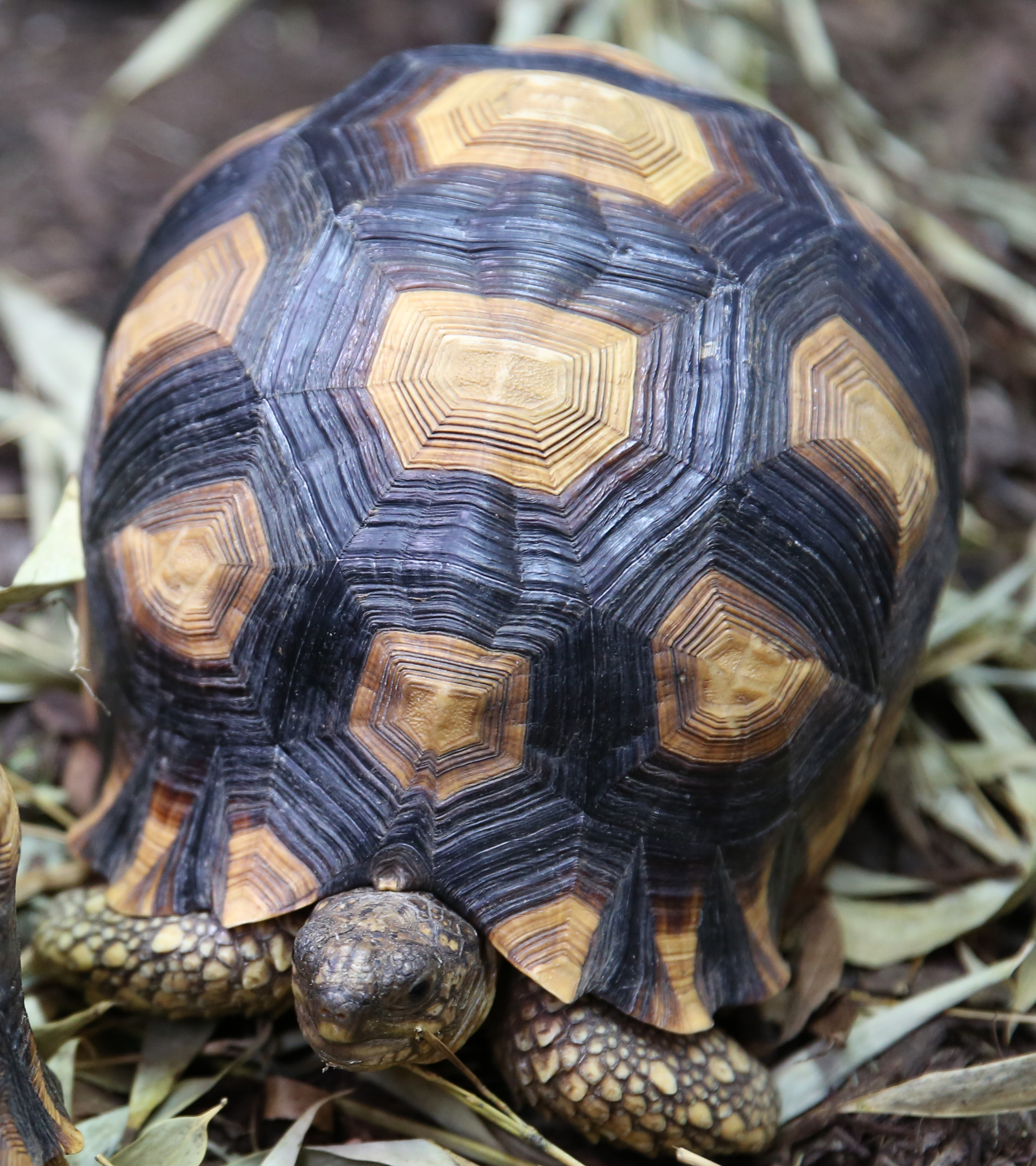 Ploughshare Tortoise Zoo Knoxville